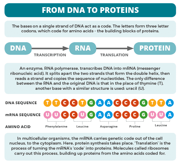 DNA to Protein Formation