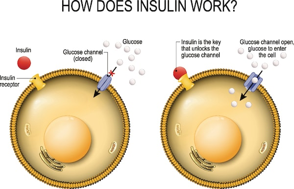 How Does Insulin Work at the Cellular Level?